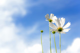 Fototapeta Kosmos - White Flowers Cosmos in the meadow, blue sky background.  soft and select focus © freebird7977
