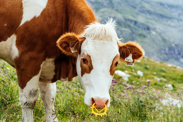 Cow grazing in the mountains in Austrian Alps