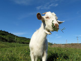 A little white goat grazing in a spring mountain meadow. Kid goat on a pasture with green grass, wildflowers and blue sky, picturesque rural landscape - 242806833