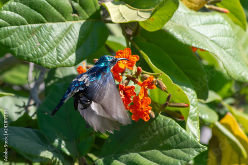 A male Purple Sunbird hovers in flight looking for nectar in beautiful red flowers.