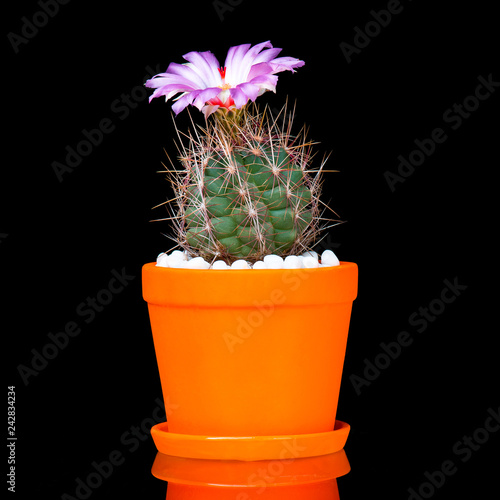 Beautiful Cactus in Flower Pot or cacti Flowers which are in their colorful Blooming Isolated on Black Background.