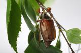 Cockchafer on a branch