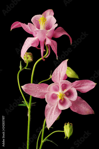 Foto Murales Flowers aquilegia on a black background. Isolated