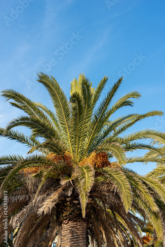 Date palm with green leaves and orange fruits