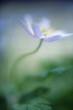 Wood anemone spring wildflower