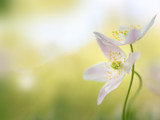 Wood anemone - macro of an early spring flower couple - 242839284