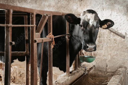 Cows in a farm. Dairy cows. - 242840437