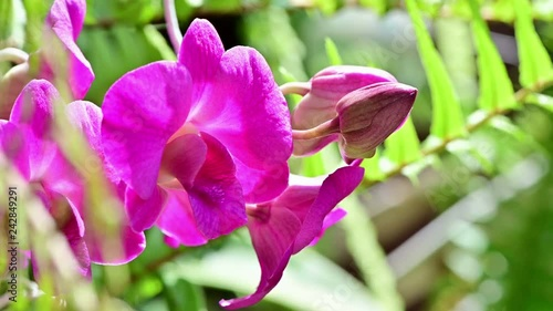 4K Asian orchid flower in the garden