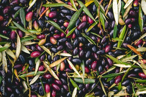 Leinwandbild Motiv Harvest of olives