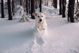 The dog runs through the snowy forest. Happy Golden Retriever dives into a snowdrift