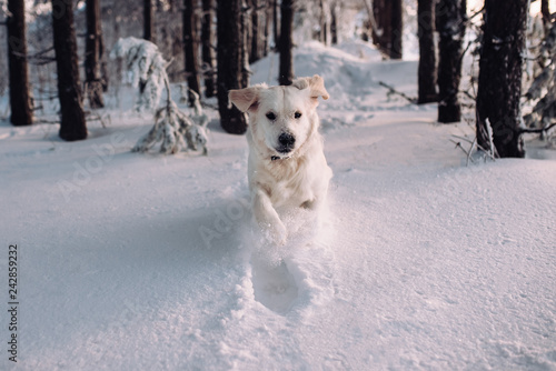 fototapeta na ścianę The dog runs through the snowy forest. Happy Golden Retriever dives into a snowdrift