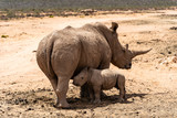 Fototapeta Sawanna - White Rhino mother with her baby in a private game reserve © josef_hajda