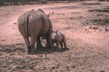 White Rhino mother with her baby in a private game reserve
