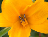 Yellow lily close