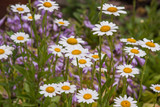daisy with purple flowers