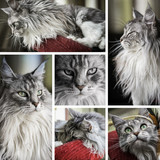 composition Main Coon - 242875235