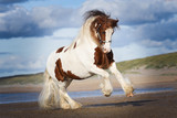 Tinker horse on the beach - 242881836