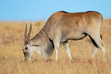 Male eland antelope (Tragelaphus oryx) feeding in grassland, Mountain Zebra National Park, South Africa - 242897031
