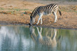A plains zebra (Equus burchelli) drinking water, Mkuze game reserve, South Africa.