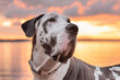 Handsome harlequin great dane dog during golden hour sunset over the sea.