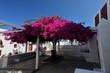 Leinwandbild Motiv Bougainvillea in full flower in mid summer