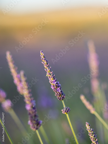 lavender field at sunset - 242916417