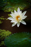 Blooming Lotus Flowers on a Lily Pond at a Balinese Temple. The Lotus Flower, significant in the Balinese culture, symbolizing grace, purity, and transcendence. - 242918861