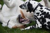 Hunde beim Beißspiel