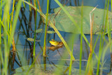frog in a swamp with lily and high grass environment sitting on leaf