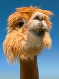 lama portrait on blue sky vertical funny animal close up - 242926856