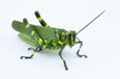 The soldier grasshopper or little Brazilian grasshopper (Chromacris speciosa), a species that represents the green and yellow, preponderant colors of the Brazilian flag.