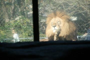 Löwe in der Sonne