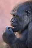 Gorilla Portrait up-close  - 242935004