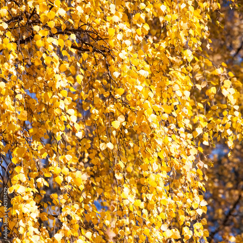 golden fall yellow leaves pattern - 242937429