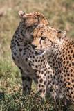 Cheetah in Serengeti African safari