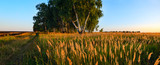 Wide panorama of country summer landscape with ground countryside road,lonely growing birch trees and spikelets of grasses illuminated by light of setting sun. - 242945053