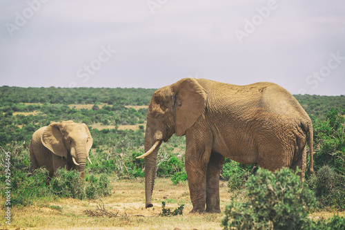 Adult elephant and baby elephant walking together in Addo National Park, South Africa