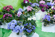 Russia, Khabarovsk, August 18, 2018: sale of flowers of violets at harvest festival