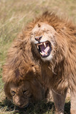 male lion in Ngorongoro Conservation Area Tanzania
