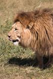 male lion in Ngorongoro Conservation Area Tanzania - 242949089