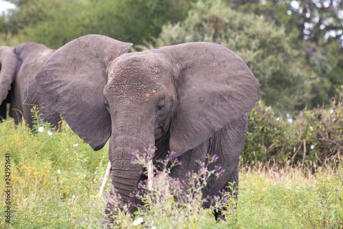 Elephant in Tarangire National Park Tanzania