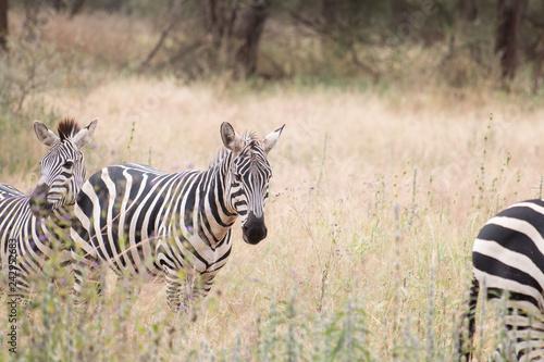 zebra in Tarangire National Park Tanzania - 242952683