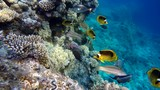 Diving. Tropical fish and coral reef. Underwater life in the ocean.  - 242953470