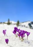 Spring landscape of blooming flowers violet crocuses ( Crocus heuffelianus ) on glade in mountains covered of snow. Carpathian mountains