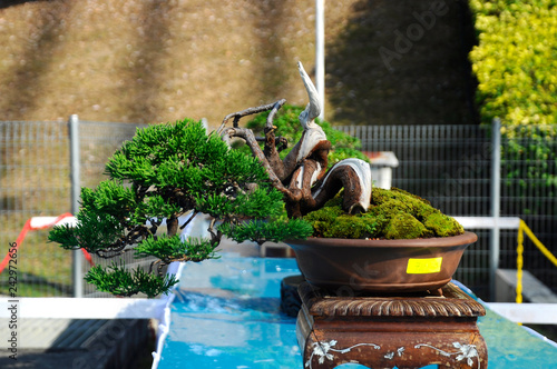 Small bonsai tree display for public in Royal Floria Putrajaya garden in Putrajaya, Malaysia. Planted in small pots.