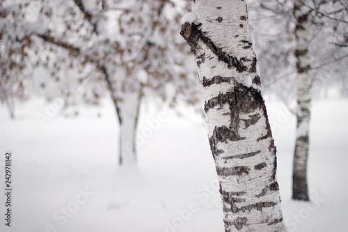 Birch tree - 242978842