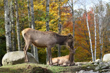 female elk with her baby during autumn - 242984013