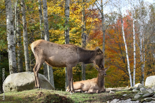 female elk with her baby during autumn