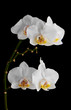 Orchids flowers on banch isolated on black background.