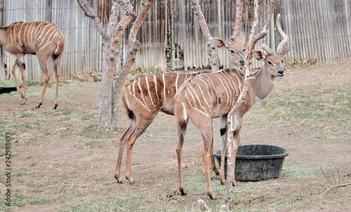 Poster Antelope